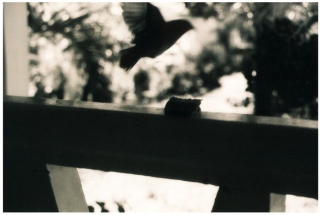 Bird thief, Coral Reef Club - Barbados 2003