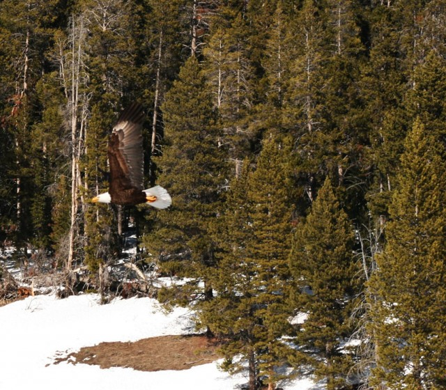 Bald Eagle - Wyoming 2008
